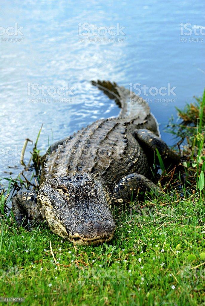 Basking American Alligator stock photo