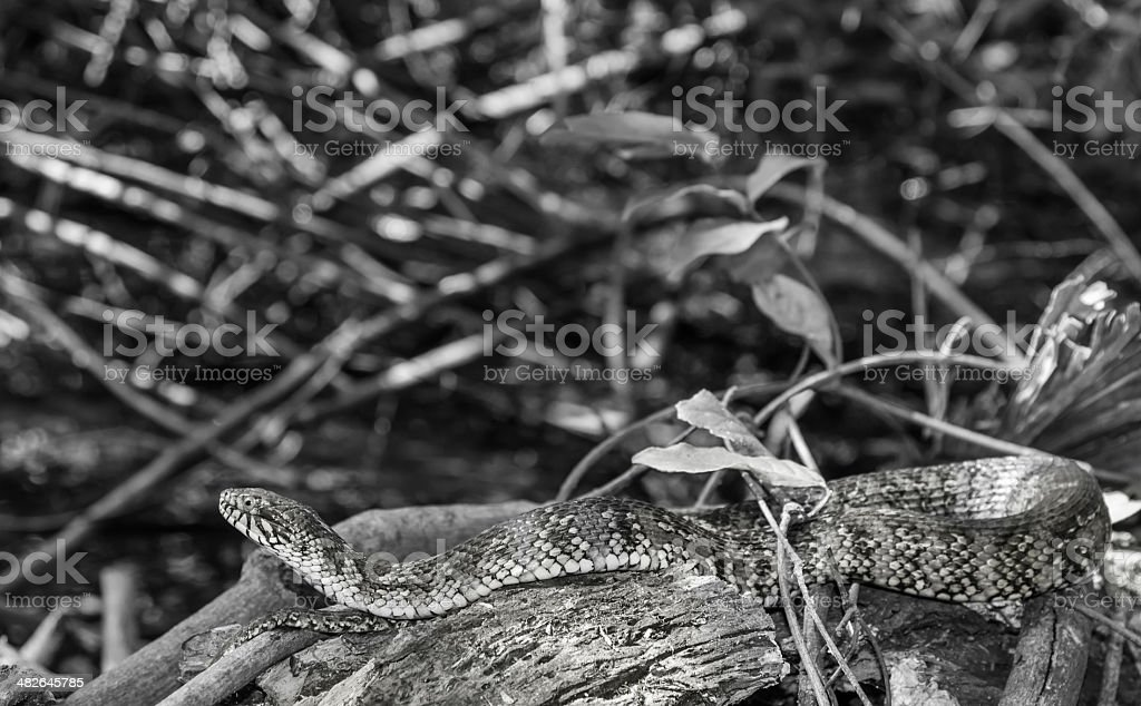 Basking Florida Water Snake stock photo