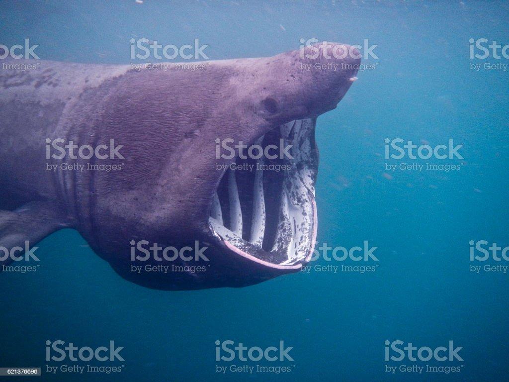 Basking Shark Scotland stock photo