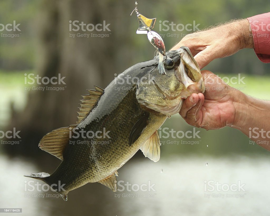 Bass Action - LargeMouth as it's Caught royalty-free stock photo