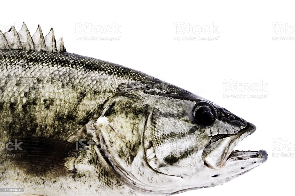 Bass in high contrast stock photo