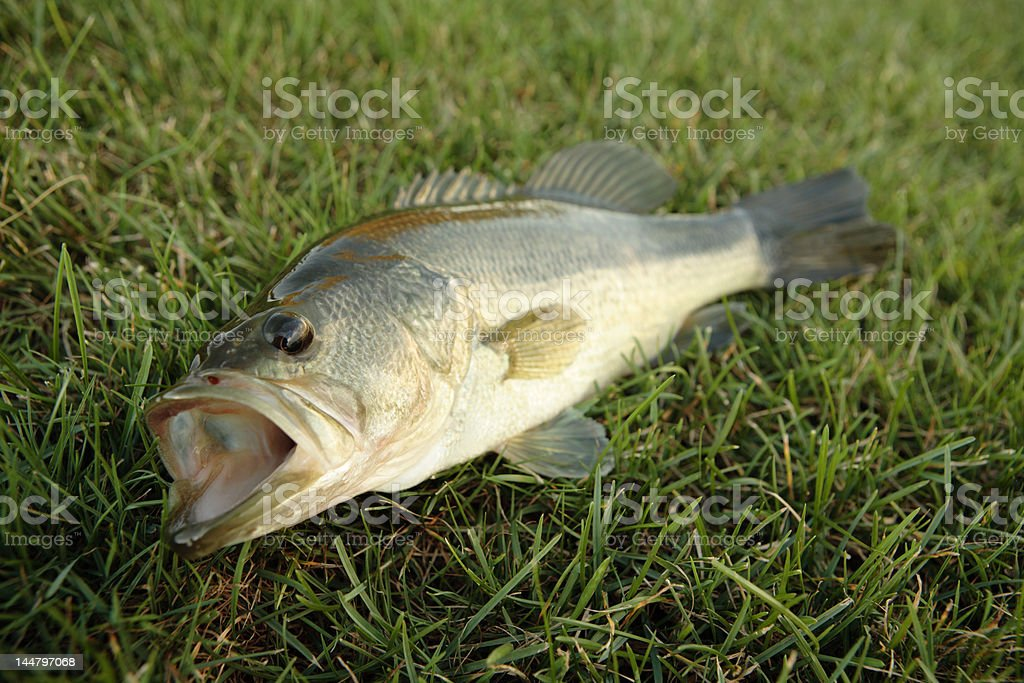 bass in the grass royalty-free stock photo