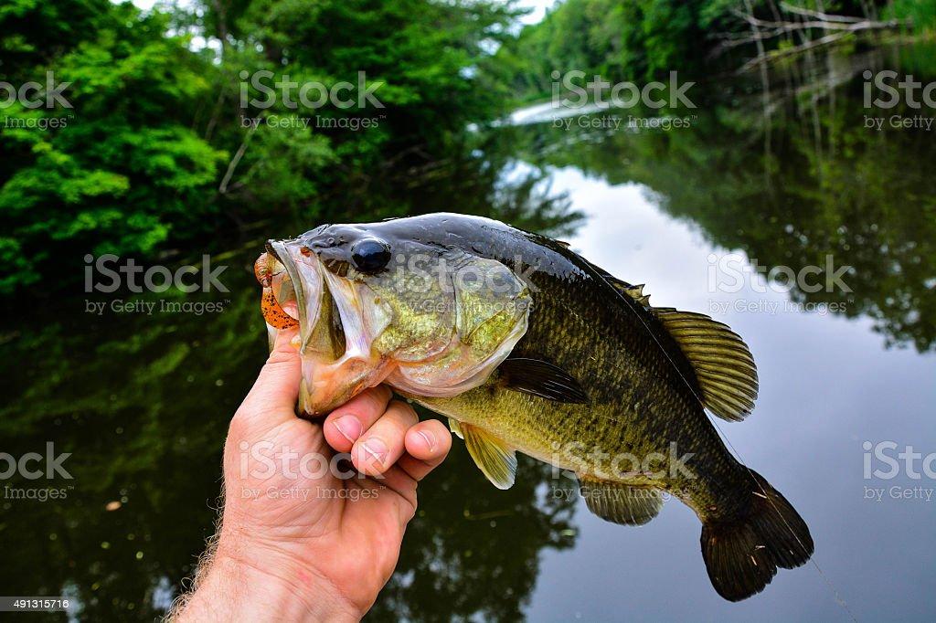 Bass on a grub stock photo