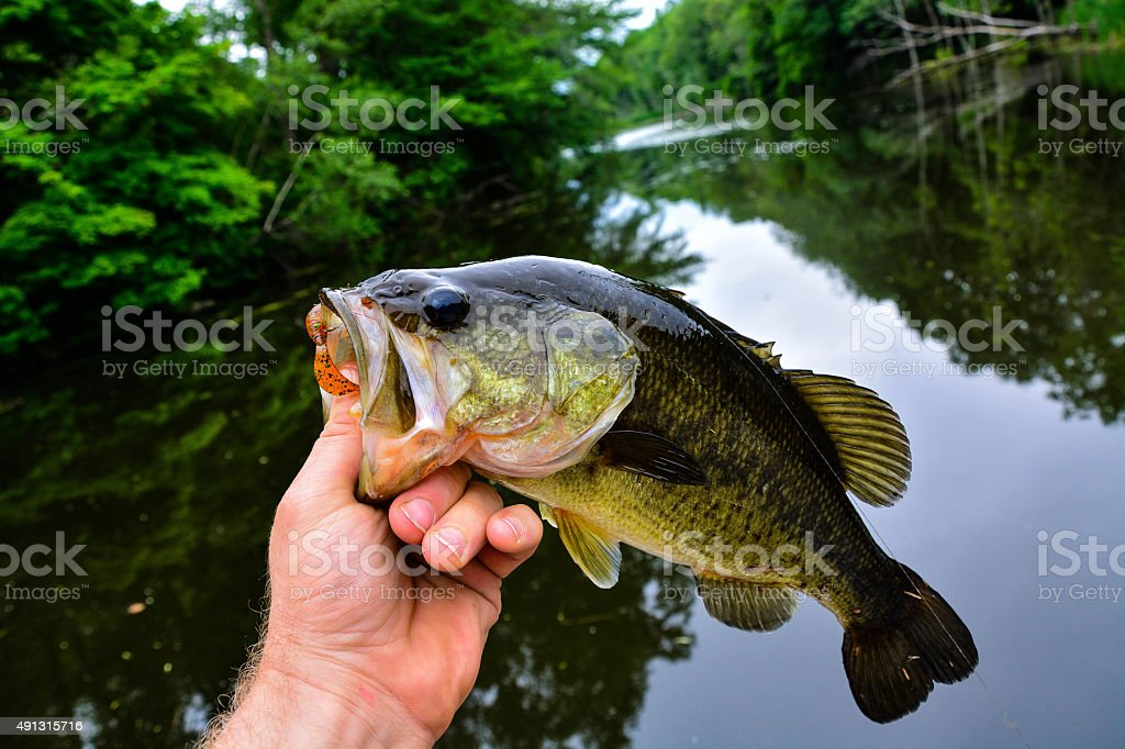 Bass on a grub stock photo