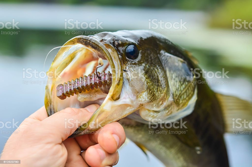 Bass with a hook in mouth stock photo
