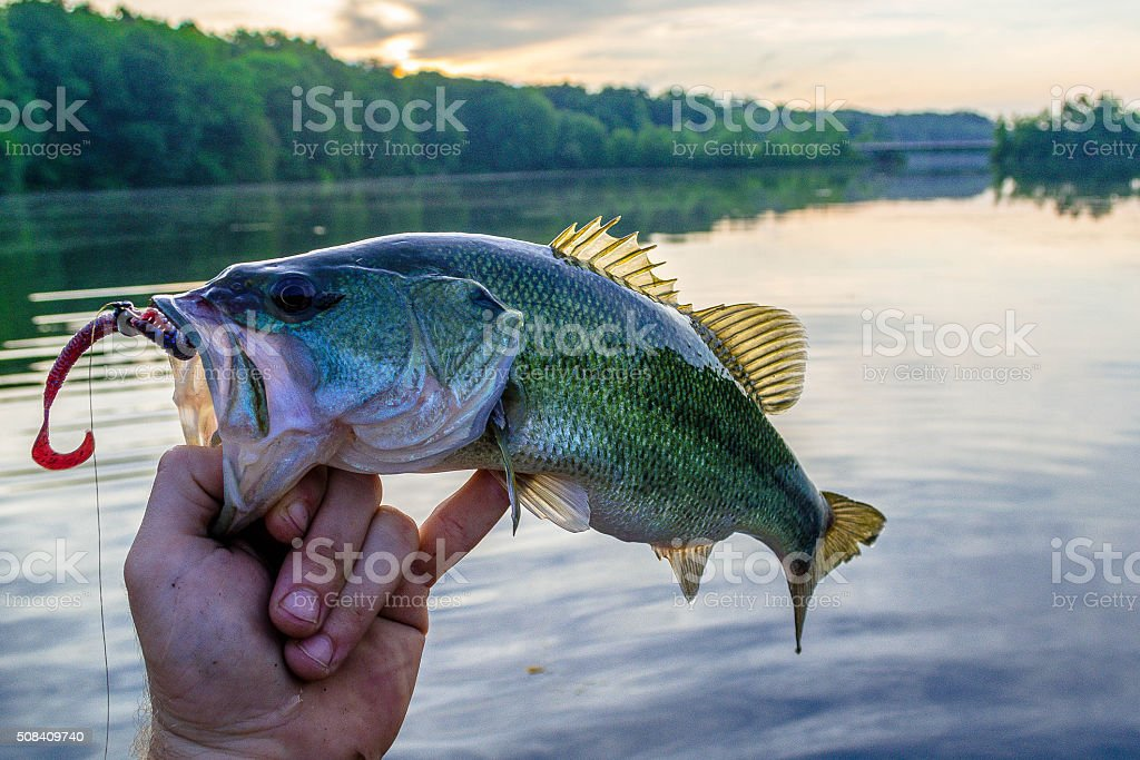 Bass with rising sun stock photo