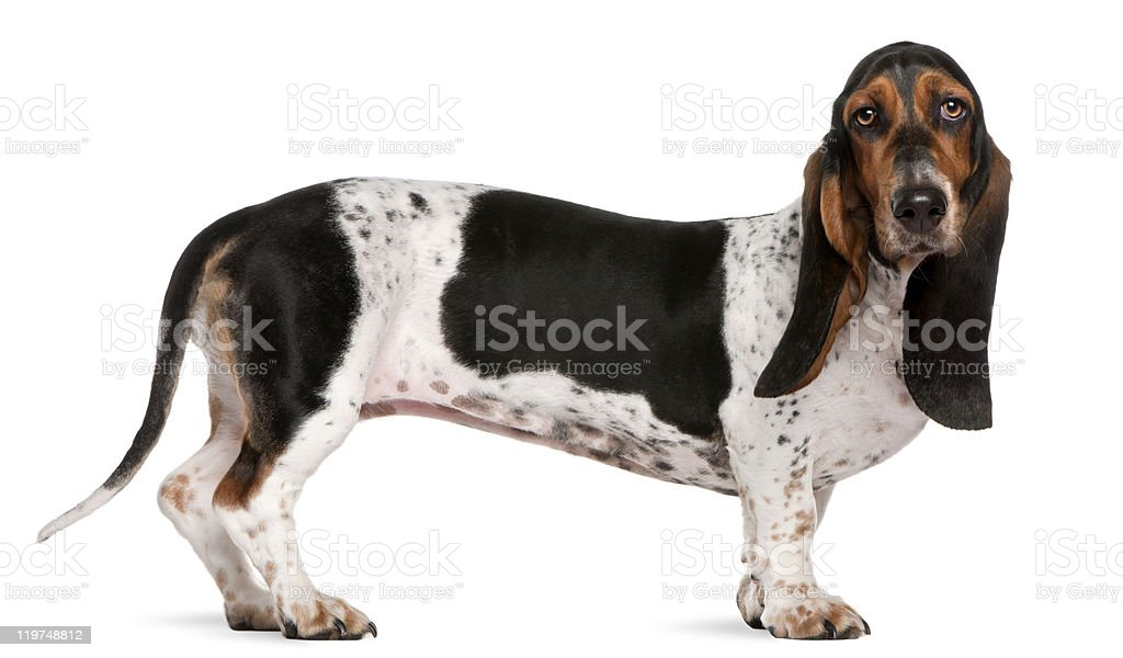 Basset artesien normand dog, 11 months old, standing, white background. royalty-free stock photo