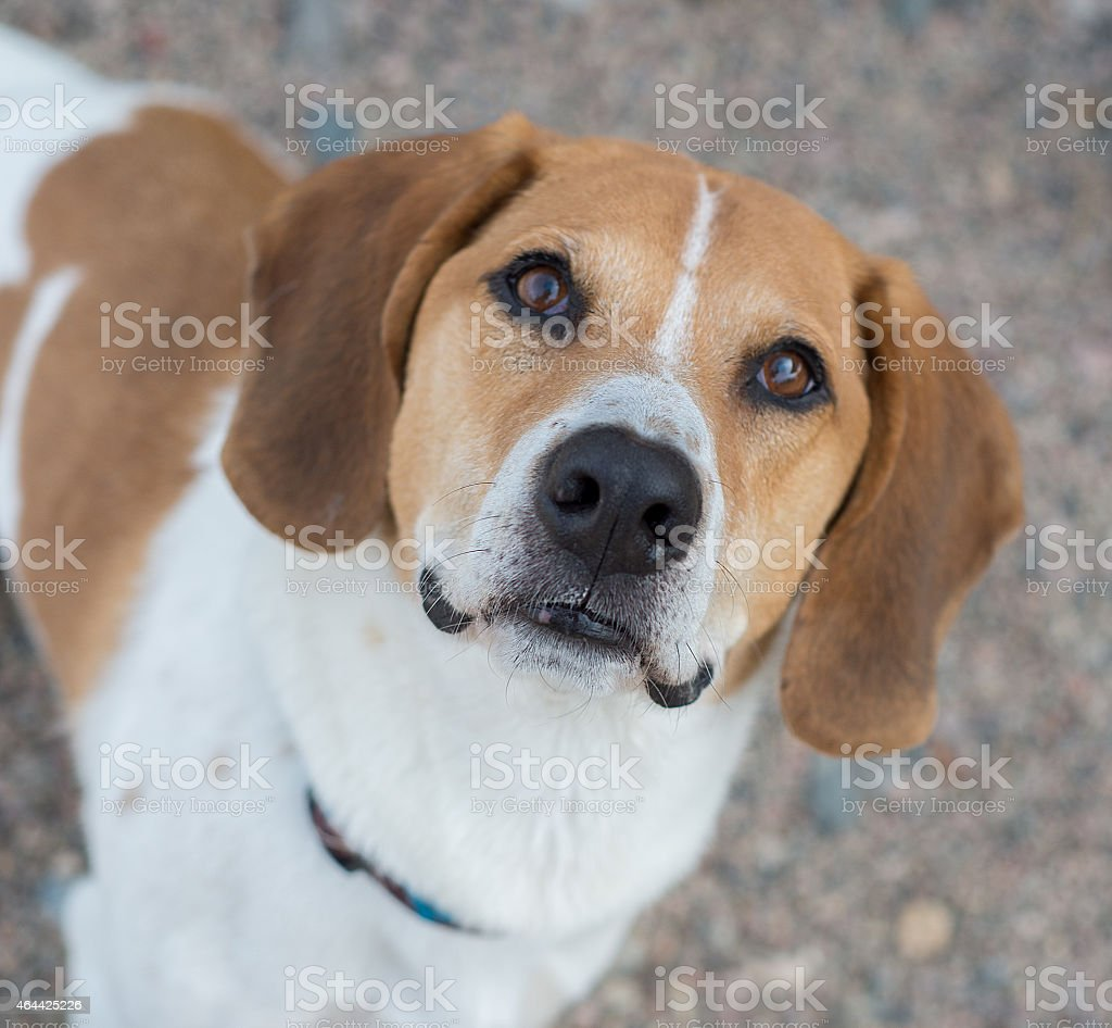 Basset hound beagle mix dog from above stock photo