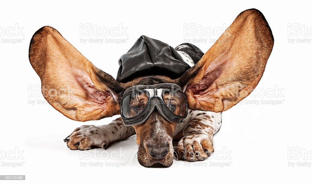 Basset Hound Dog Aviator stock photo