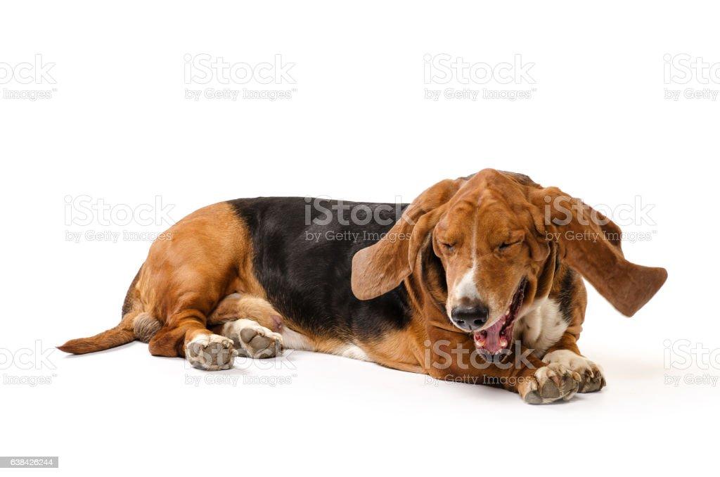 Basset Hound dog gapes on isolated white stock photo