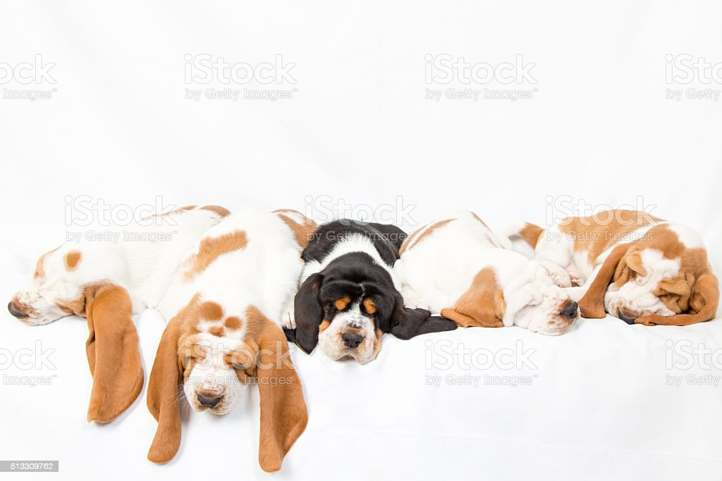 Basset hound dog pile stock photo