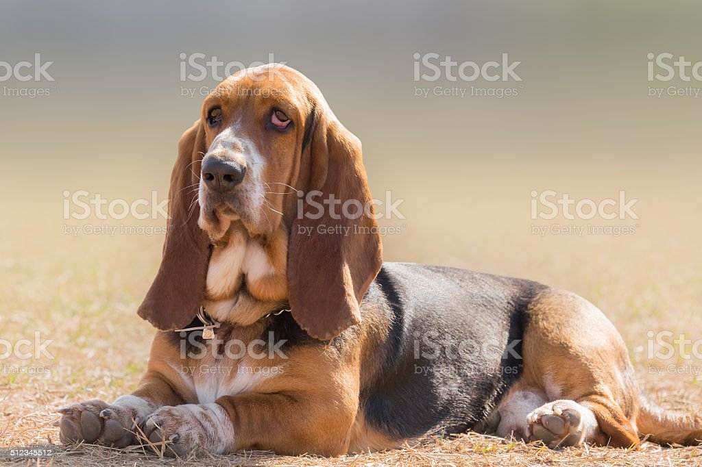 Basset hound dog portrait having a serious, yet funny  look. stock photo