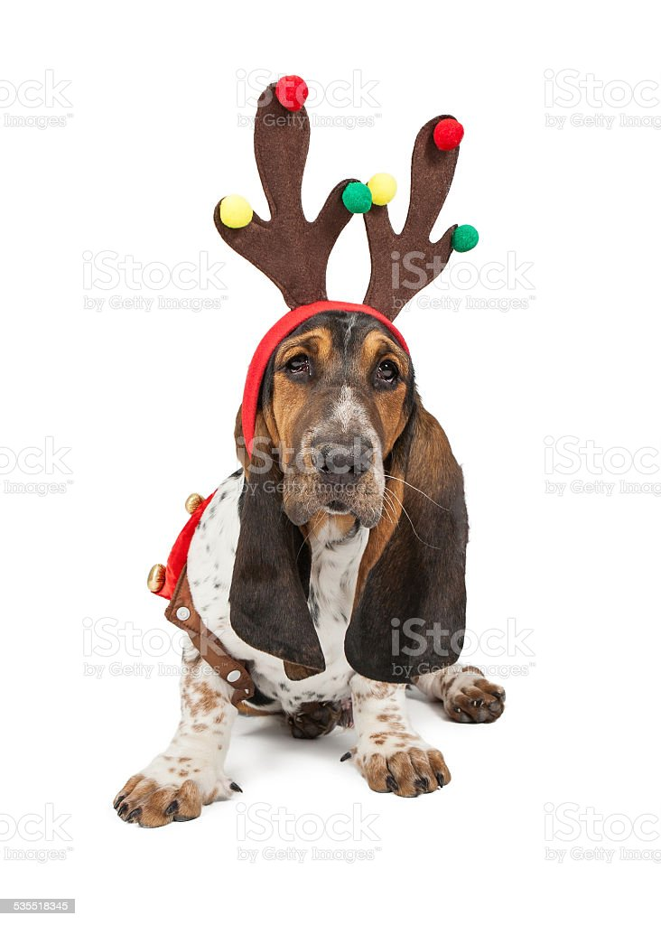 Basset Hound Dog Reindeer stock photo