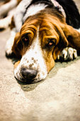 Basset hound lying down looking up on gray background