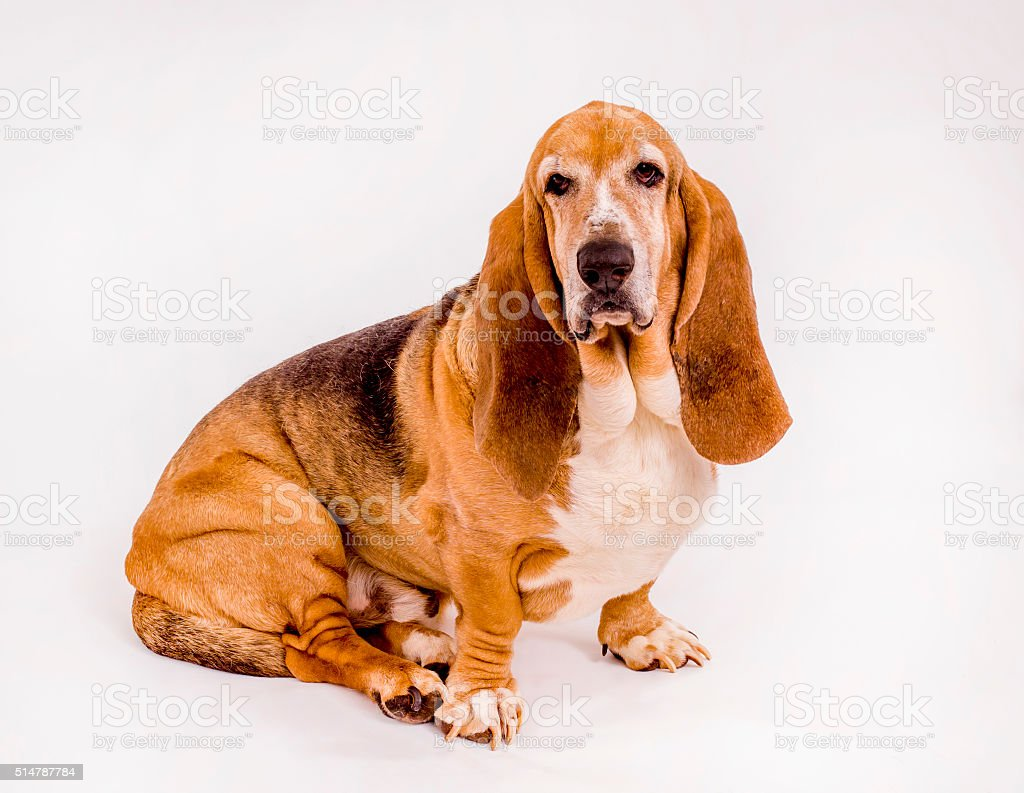 Basset Hound on White stock photo