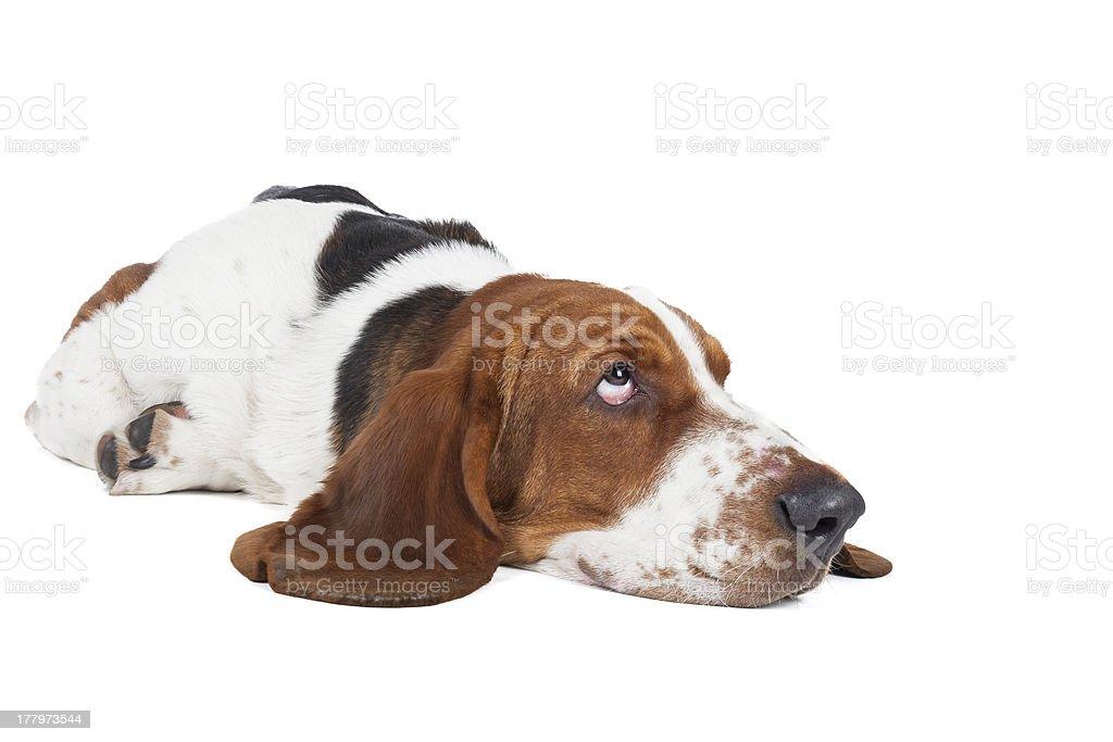 Basset hound royalty-free stock photo
