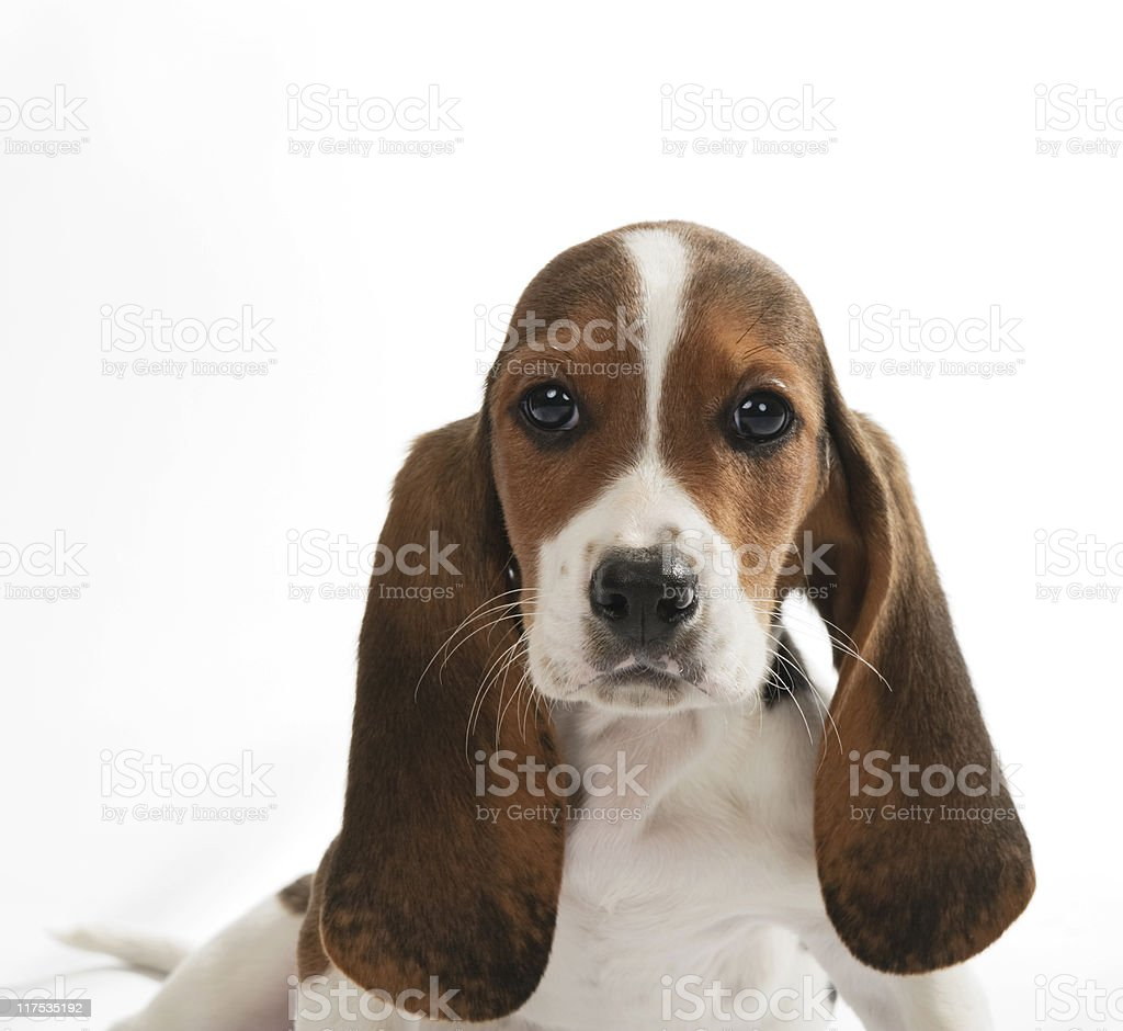 Basset Hound Pup stock photo