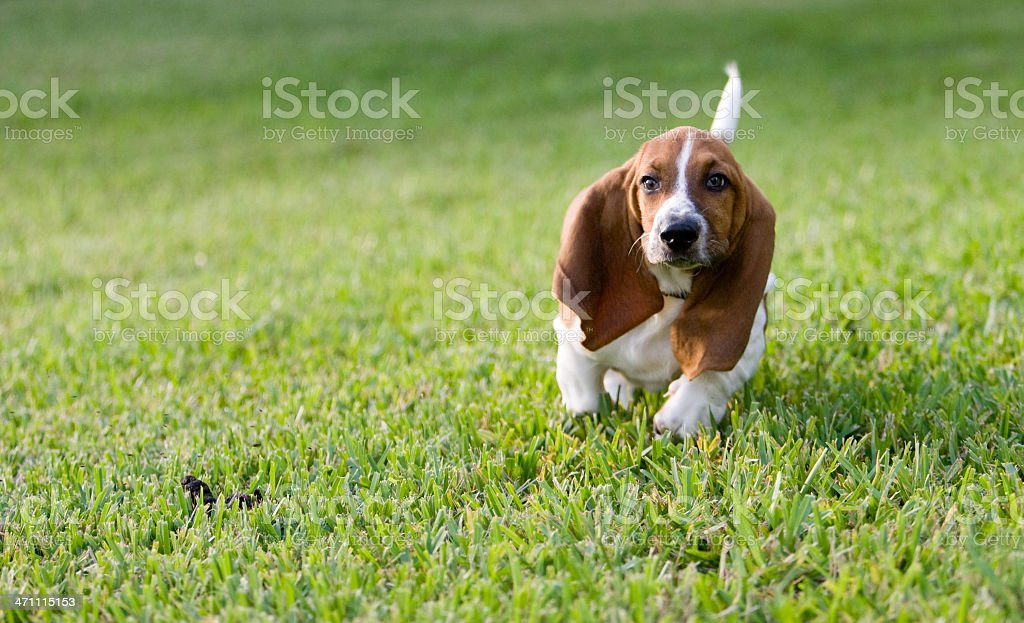 Basset Hound Puppy stock photo
