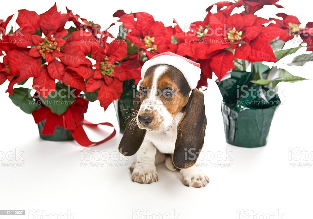 Basset Hound Puppy with Ponsettias royalty-free stock photo