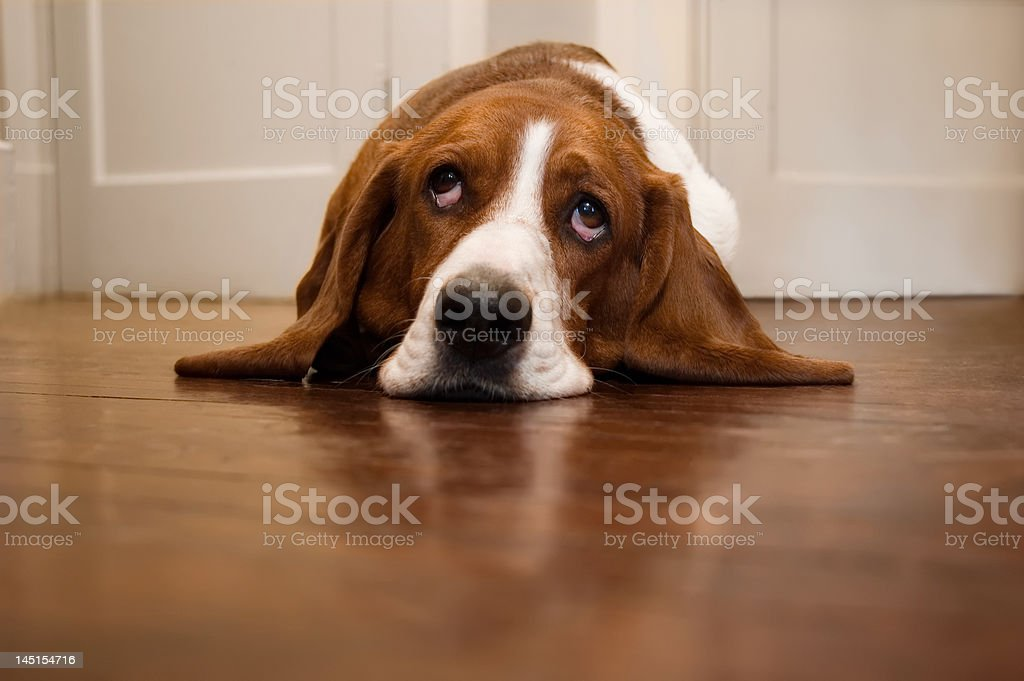 Basset Hound Rolling Its Eyes stock photo