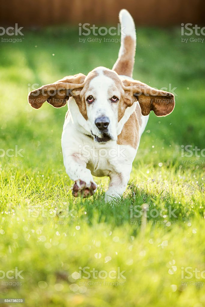 Basset Hound Running stock photo