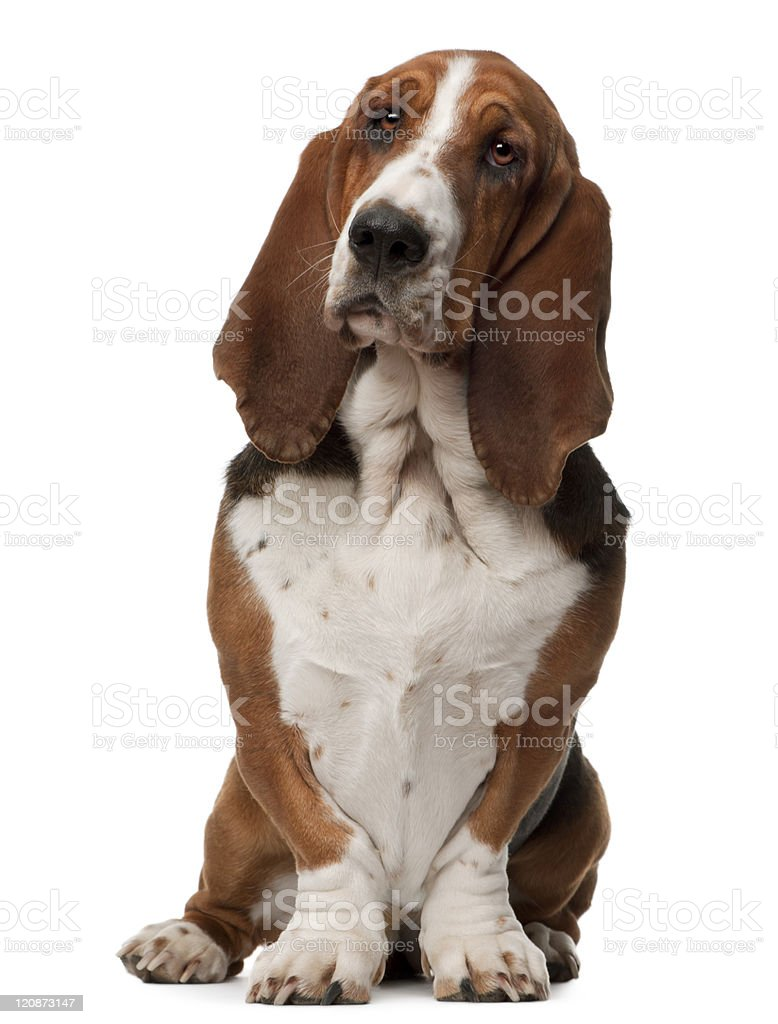 Basset Hound, two years old, sitting, white background. stock photo