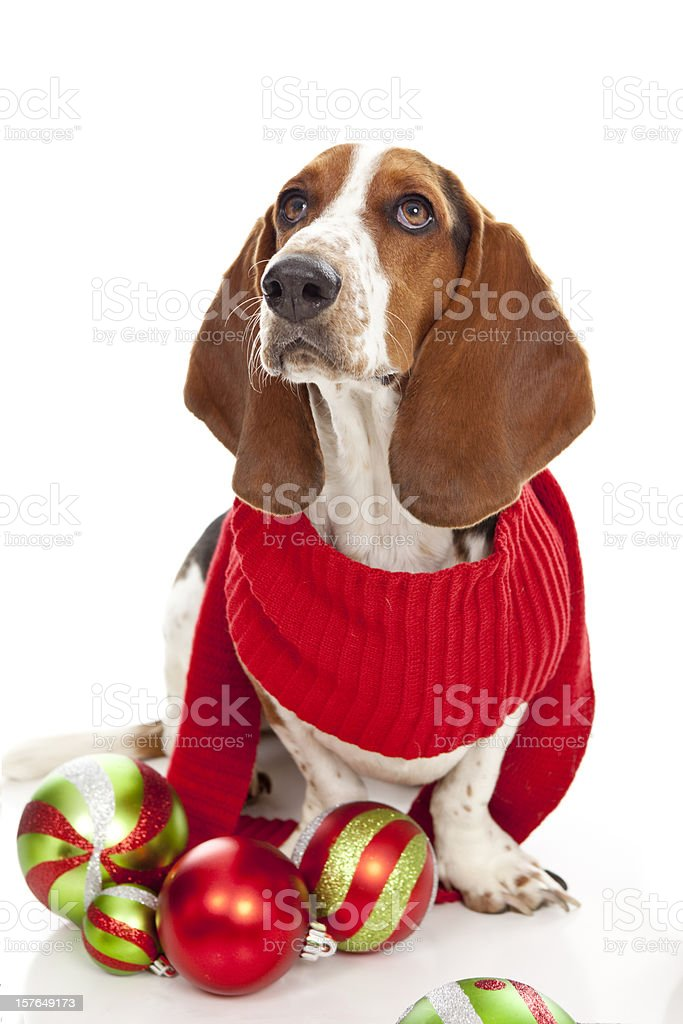 Basset Hound with Red Scarf and Christmas Ornaments royalty-free stock photo