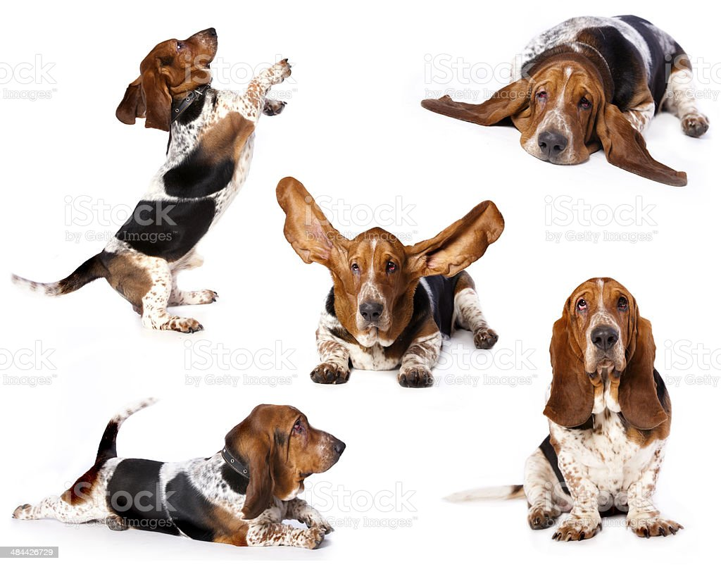 basset stock photo
