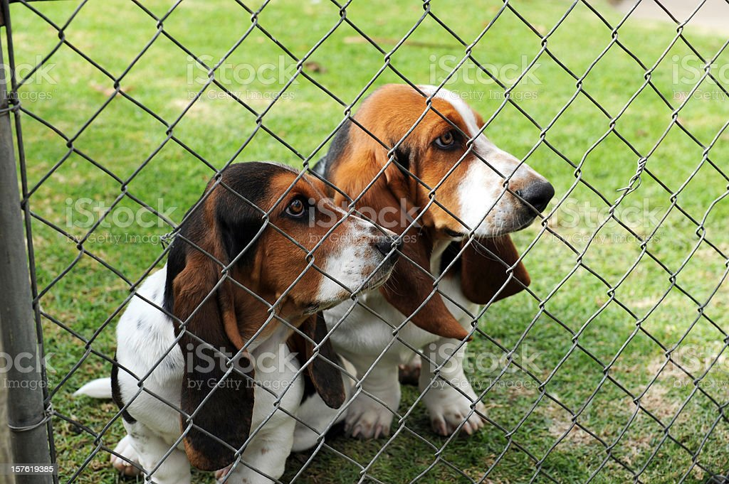 Bassets behind the Fence stock photo