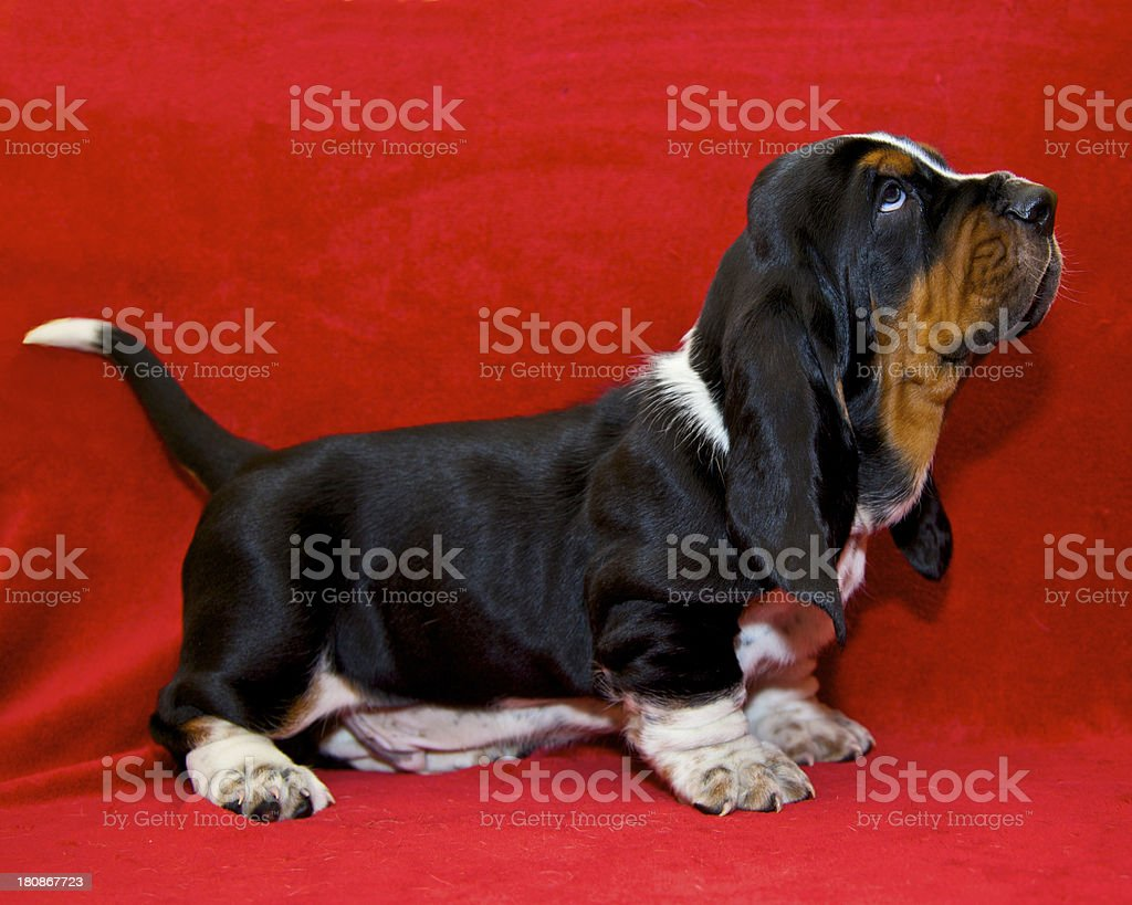 Bassets Hound Pup royalty-free stock photo