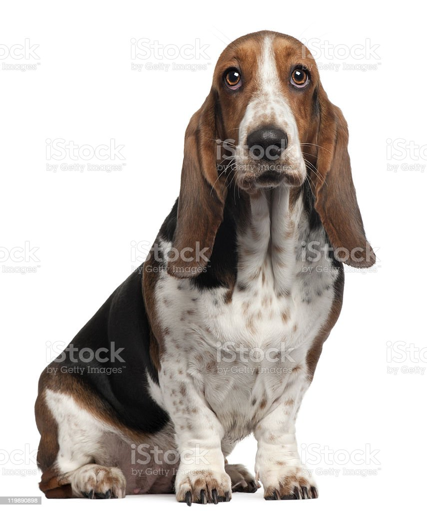 Bassett Hound, 6 years old, sitting, white background. stock photo