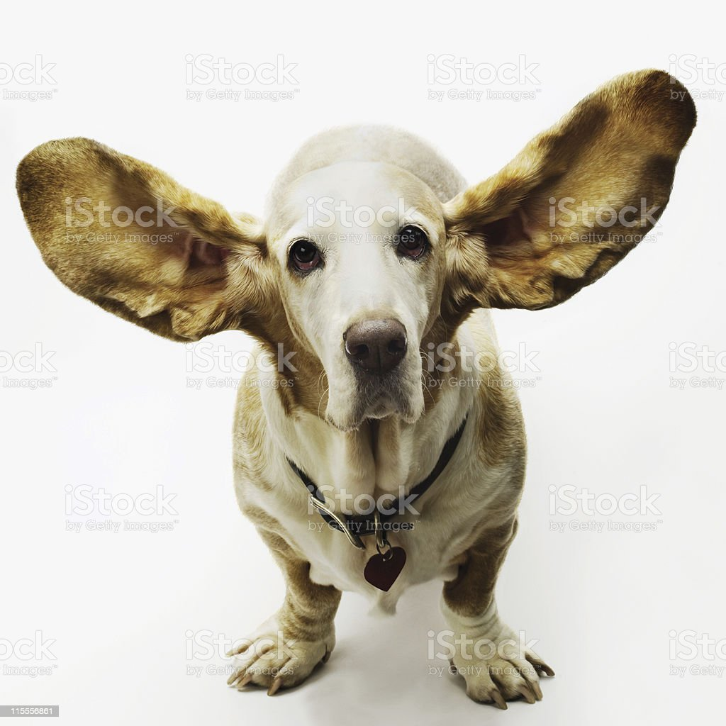Bassett Hound Dog stock photo