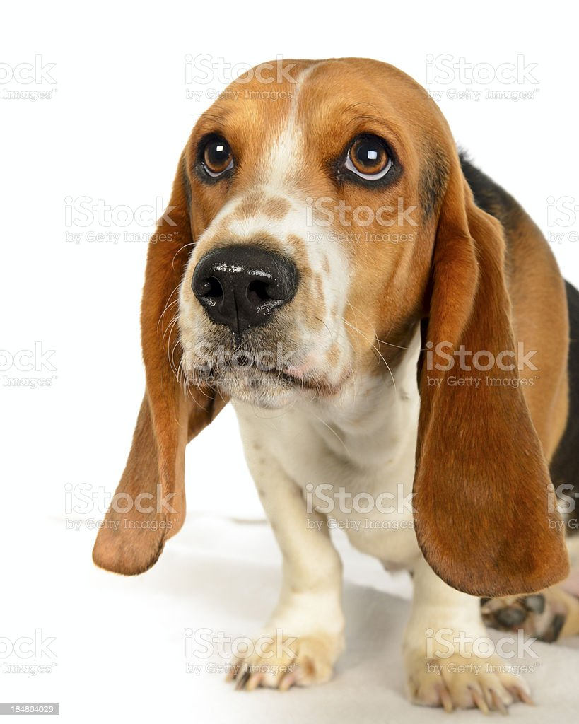 Bassett Hound Studio Portrait Isolated on White stock photo