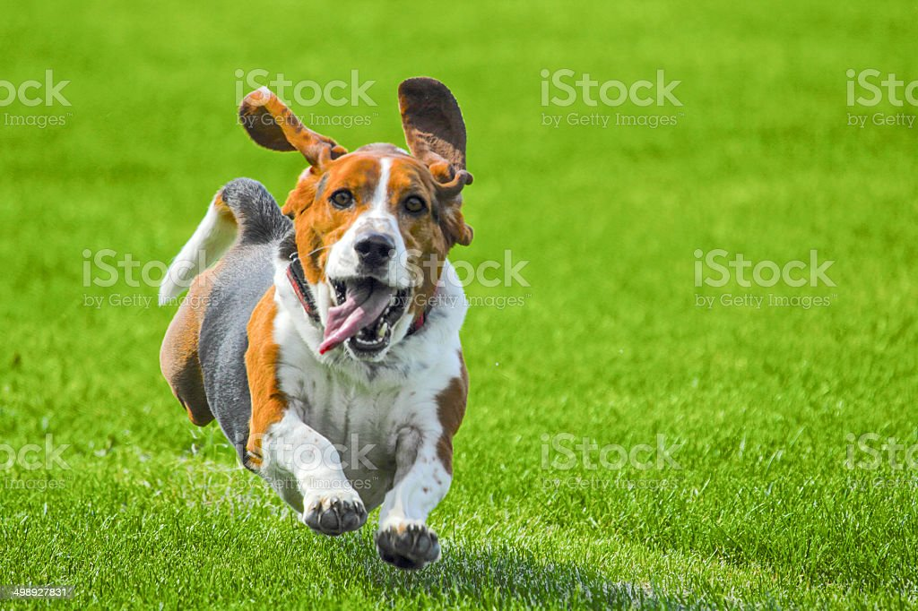 Bassett running stock photo