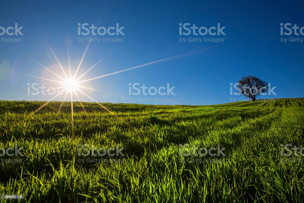 Basswood Tree with Solid Roots stock photo