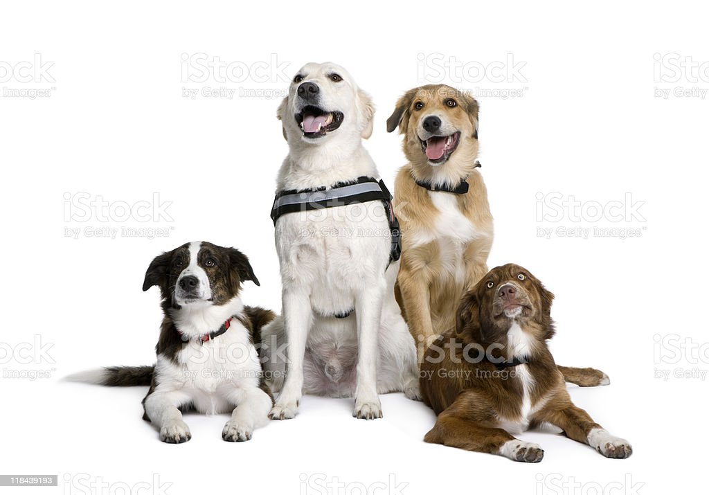 Bastard dogs sitting in front of white background royalty-free stock photo