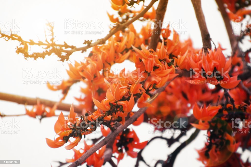 Bastard Teak or Flame of the Forest flower. stock photo