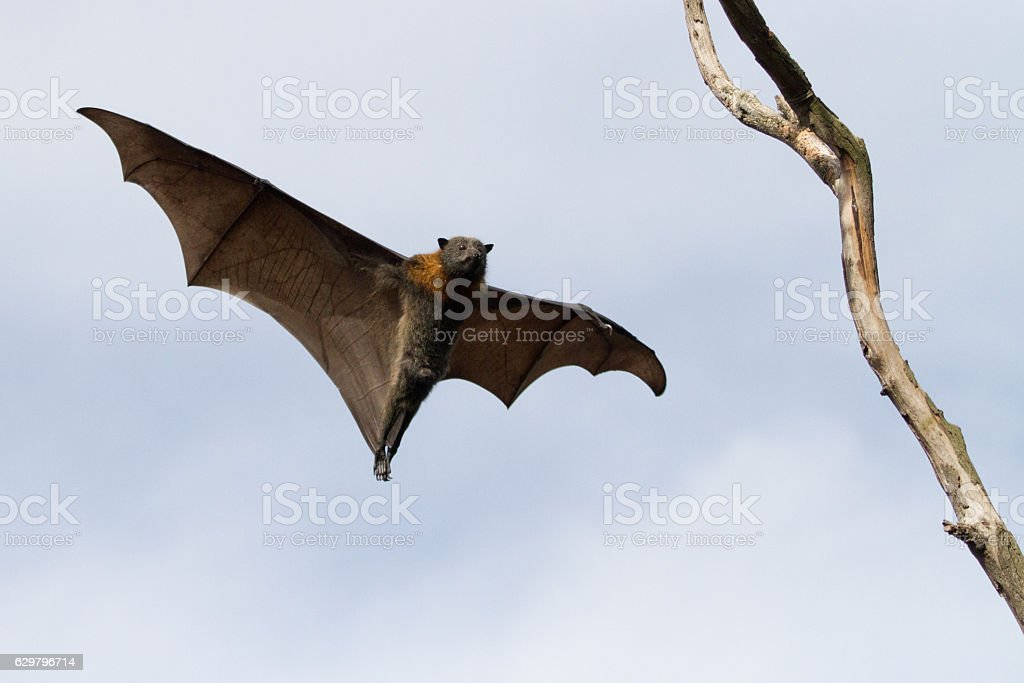 Bat Coming in to Land on a Branch stock photo