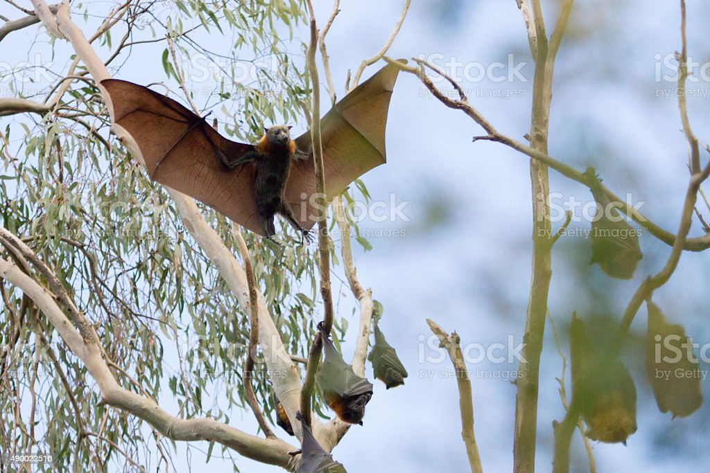 Bat Coming in to Land stock photo