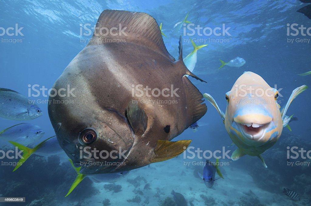 Bat fish and Parrot fish stock photo