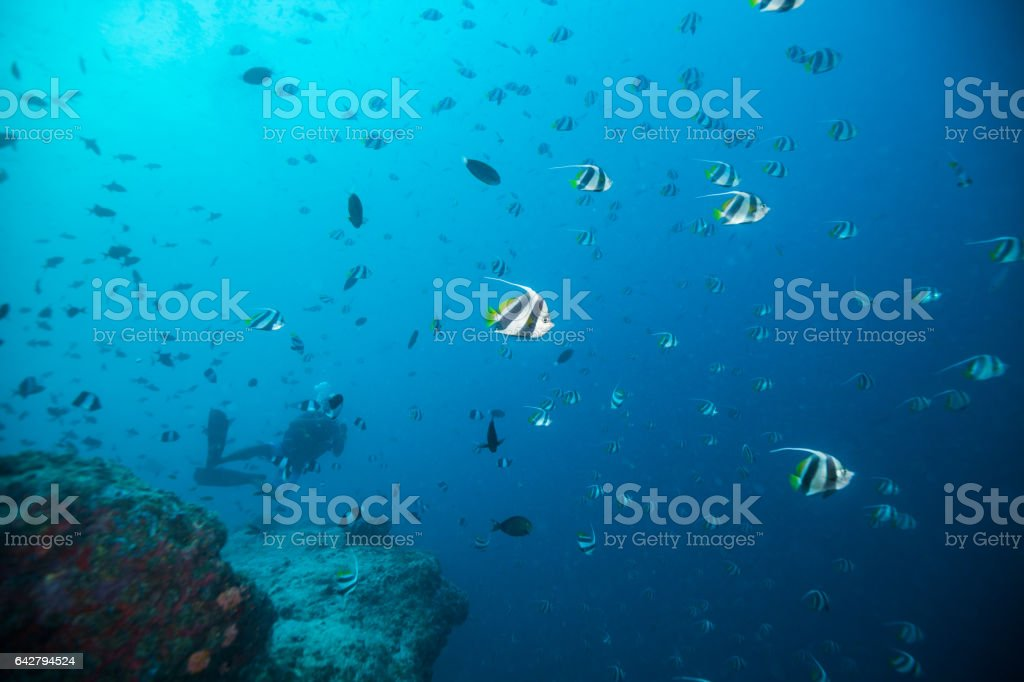 Bat fish floating in deep blue ocean stock photo