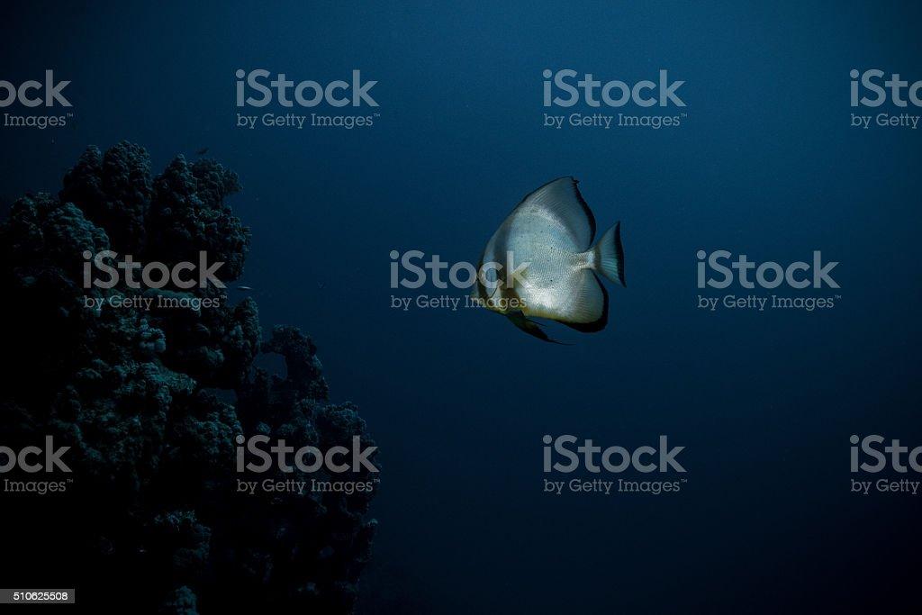 Bat fish stock photo