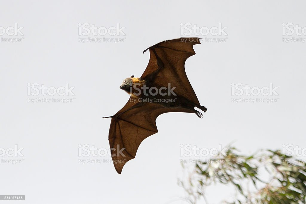 Bat Flying Over Trees stock photo