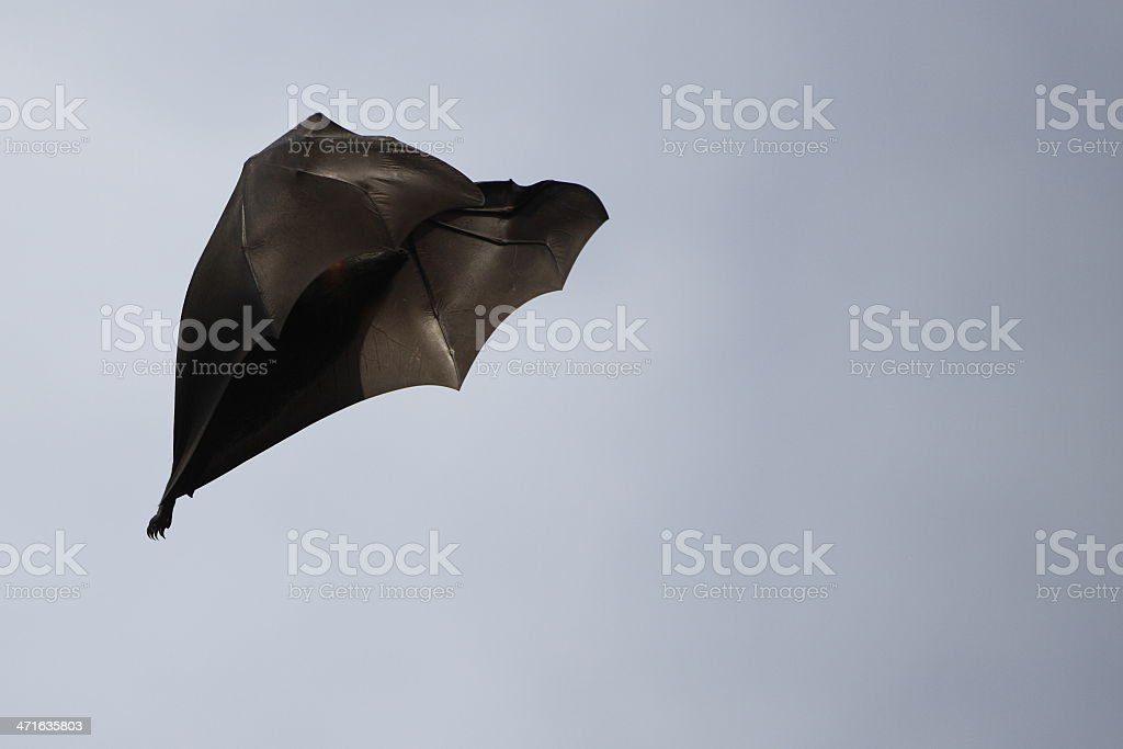 Bat Flying royalty-free stock photo