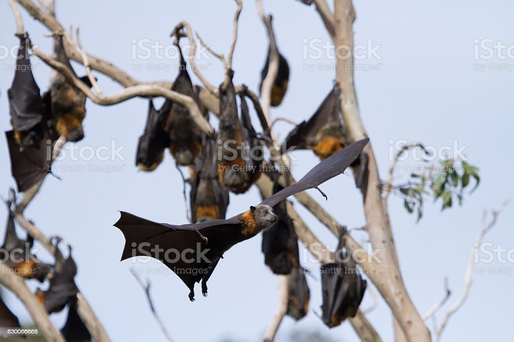 Bat Flying Trough Trees stock photo