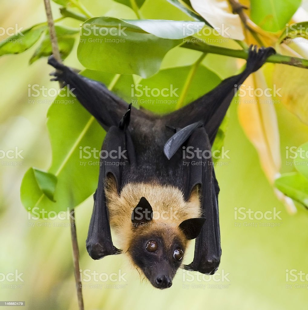 Bat hanging from tree royalty-free stock photo