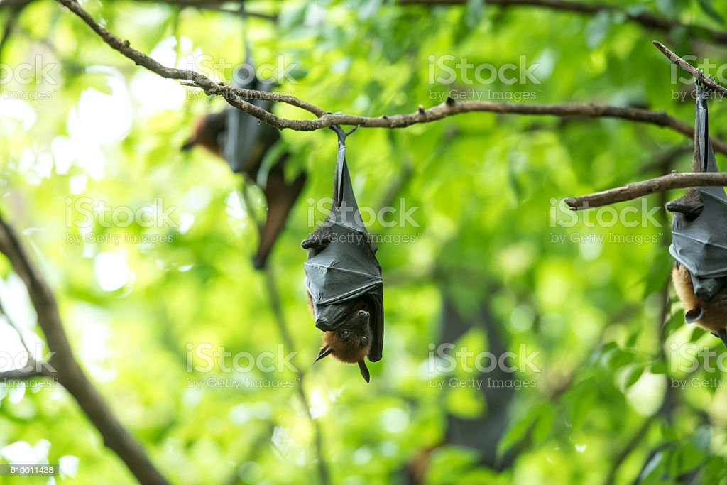 Bat suspension photo libre de droits
