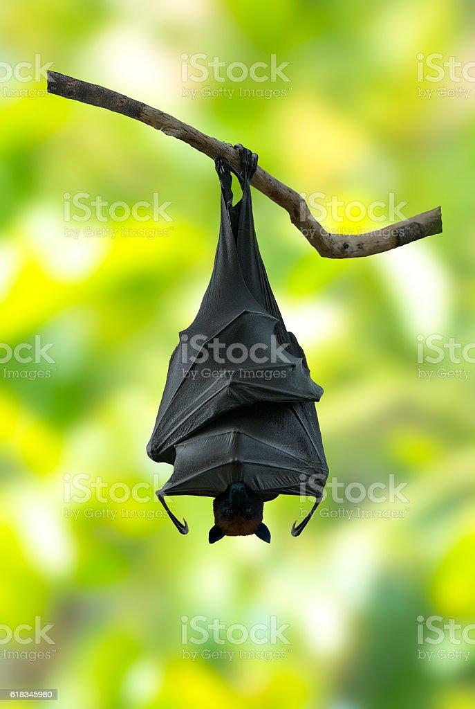 Bat hanging stock photo