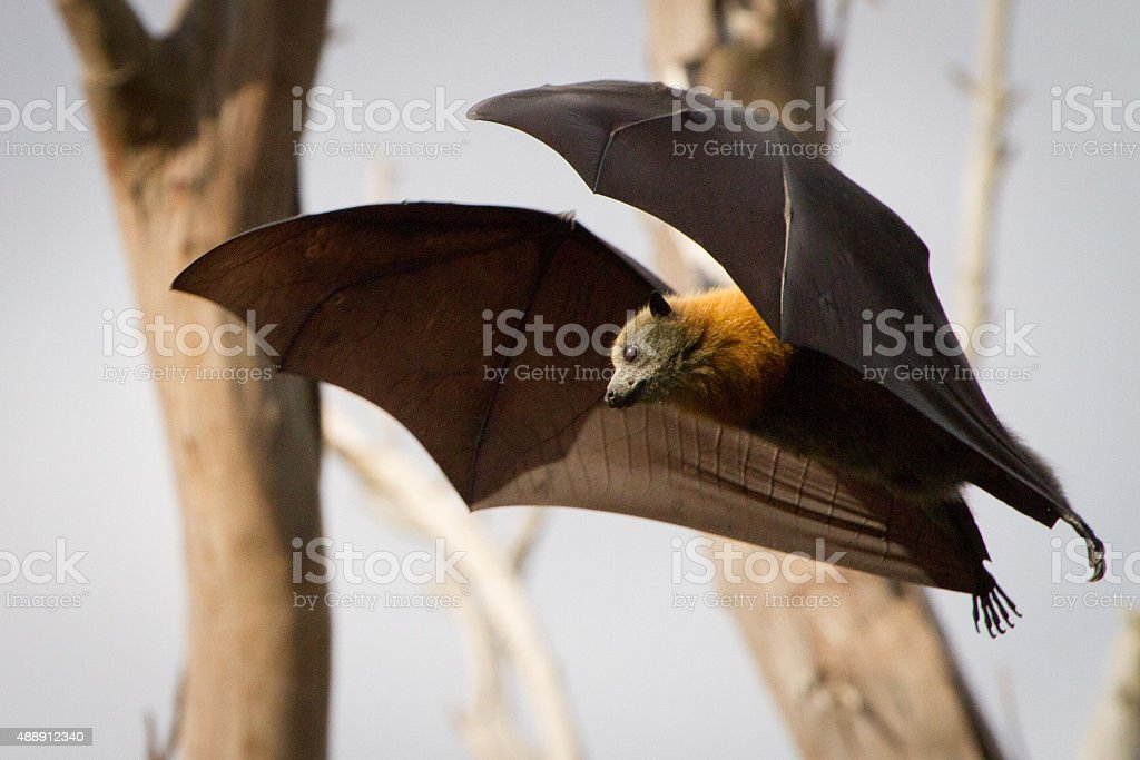 Bat in Mid Air stock photo