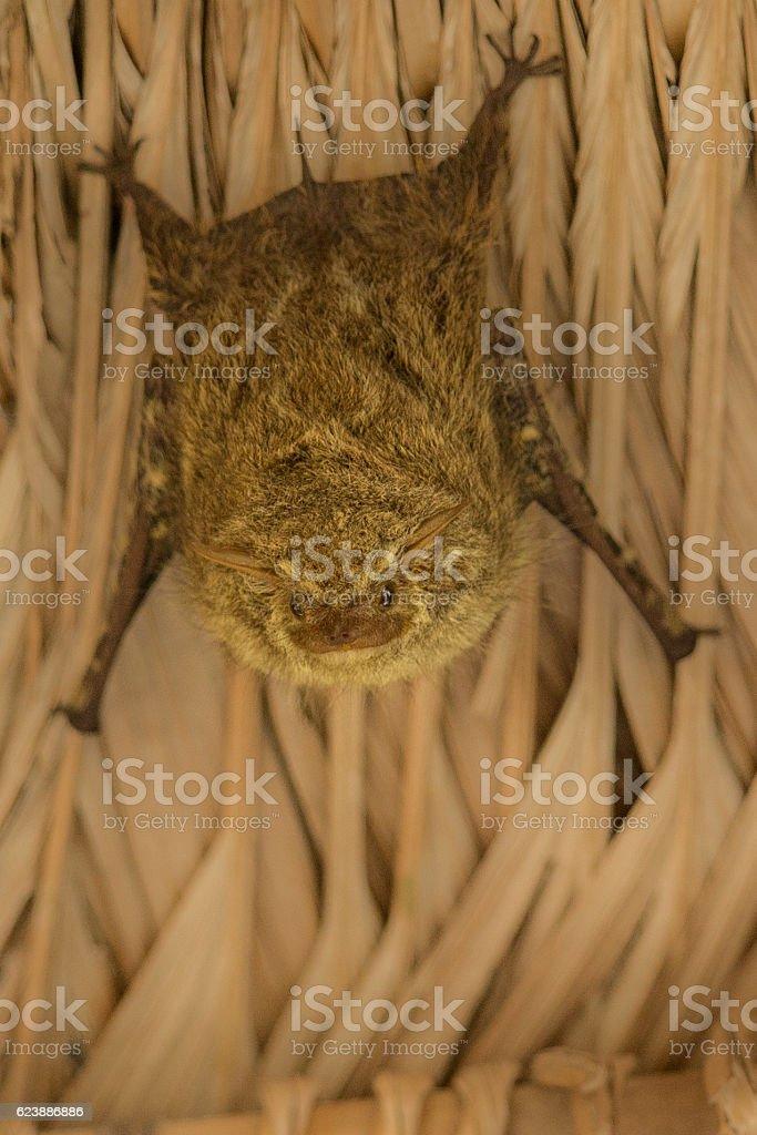 bat in peru in the urban habitat stock photo